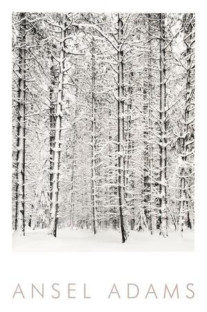 Pine Forest in the Snow, Yosemite National Park
