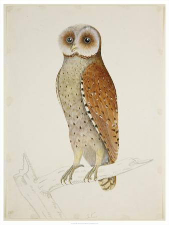 Bay Owl, 1824