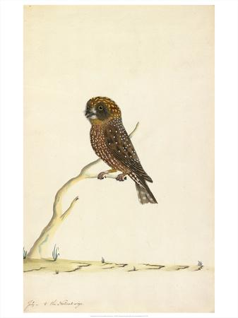 Boobook owl, c. 1790-1800
