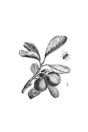 Orchard Flowers III