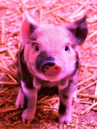 Funky Pig Piglet Farm