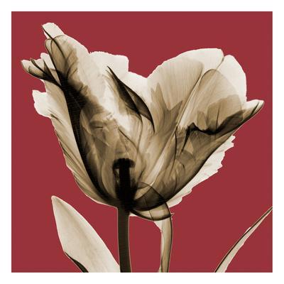 Red Luster Tulip