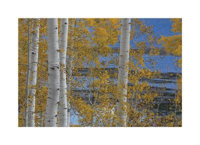 Aspen Trees and Lake