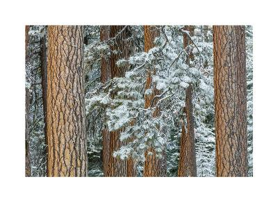 Snowy Pine Forest 2