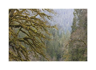 Big Leaf Maple in Winter
