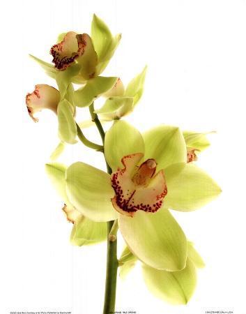 Pale Orchid