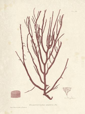 Helminthocladia purpurea