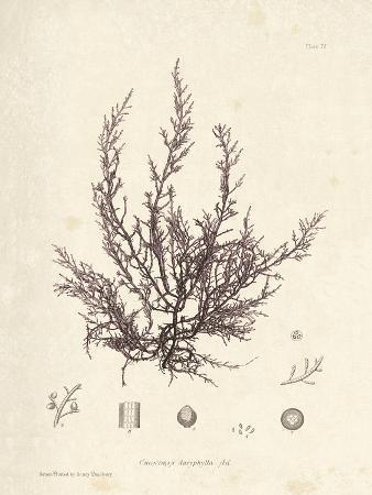 Chondria dasyphylla