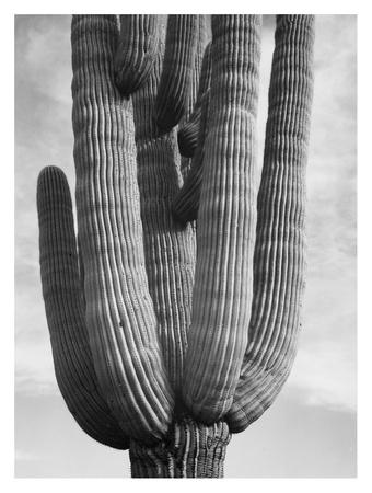 Detail of cactus Saguaros, Saguro National Monument, Arizona, ca. 1941-1942
