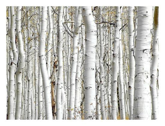 birch wood art by photoinc studio at allposters com