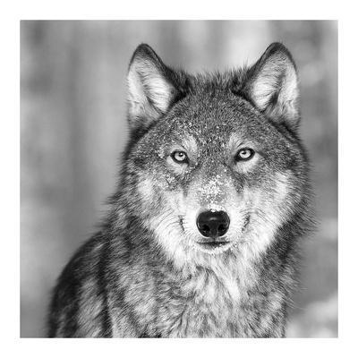 wolf posters by photoinc studio at allposters com