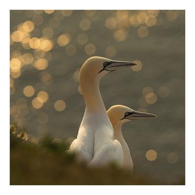 Gannets In Sunset