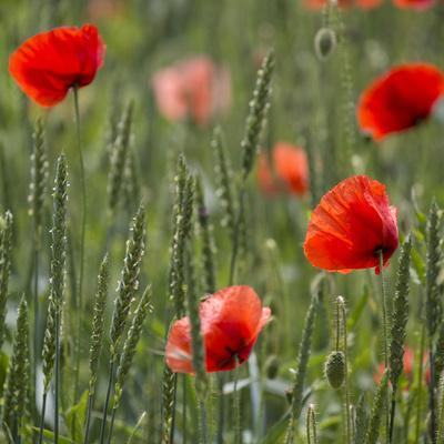 Poppy Field - Square