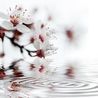 White Cherry Blossom - Square