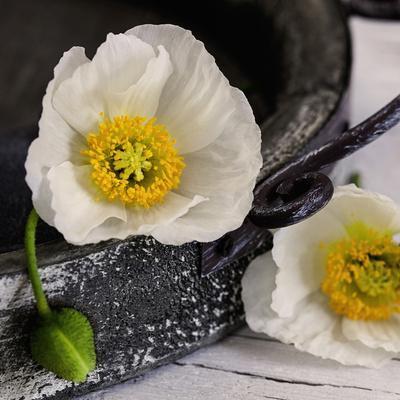 White Poppy - Square