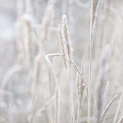 Winter Grass - Square