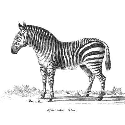 Vintage Zebra - Square