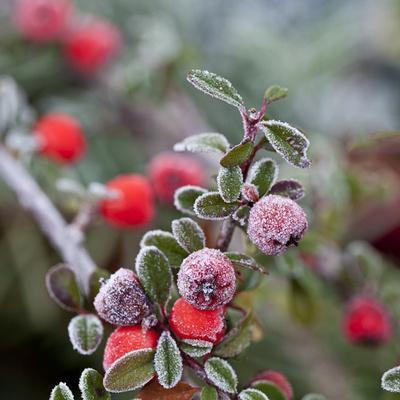 Winter Berries - Square