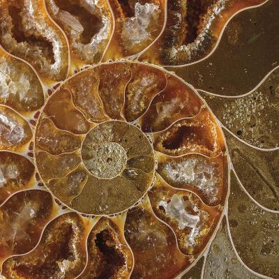 Ammonite - Whorl