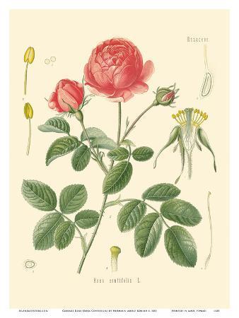 Cabbage Rose (Rosa Centifolia) - Köhler's Medicinal Plants