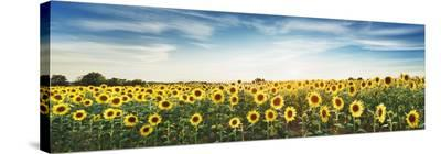 Sunflower field, Plateau Valensole, Provence, France