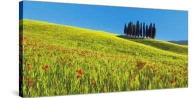 Cypress and corn field, Tuscany, Italy