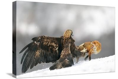 Golden Eagle And Red Fox