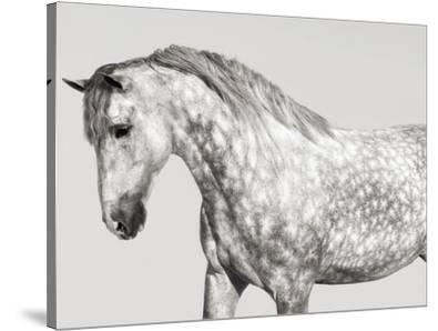 Leia, Andalusian Pony