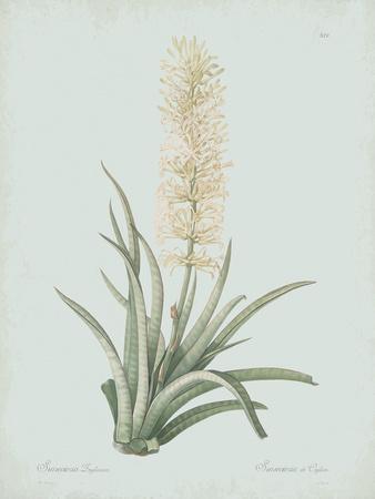 Sansevieria Zeylancia - Celadon