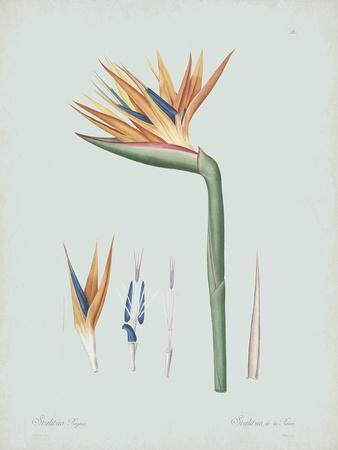 Strelitzia Regina Flos - Celadon