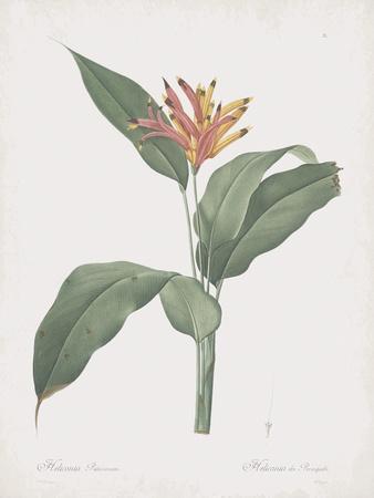 Heliconia Psitaccorum