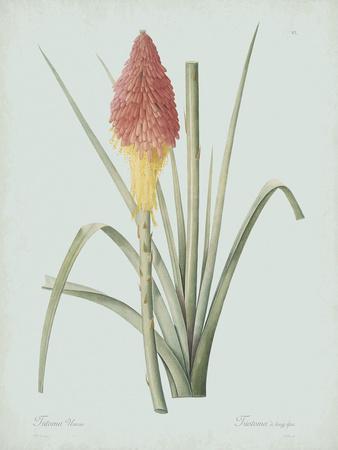 Tritoma Uvaria - Celadon