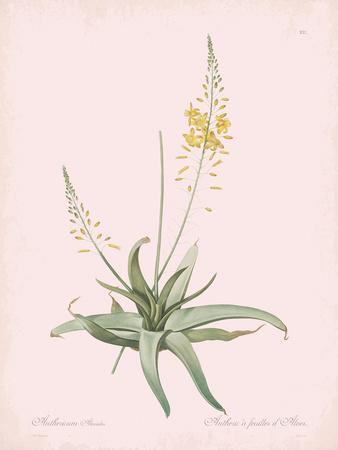 Anthericum Alooides - Rose
