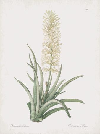 Sansevieria Zeylancia
