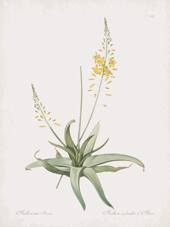Anthericum Alooides