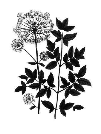 Botanica Angelica - Noir
