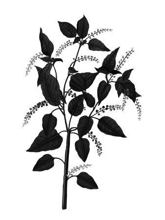 Botanica Baccifer - Noir