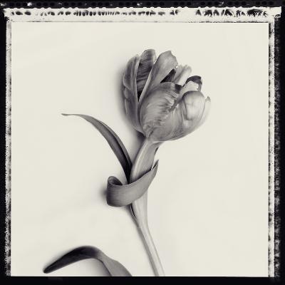 Tulipano Botanica IV