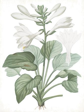 Hemerocallis Japonica - Fair