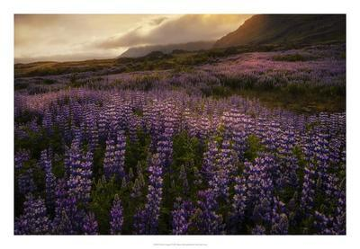 Field of Lupines