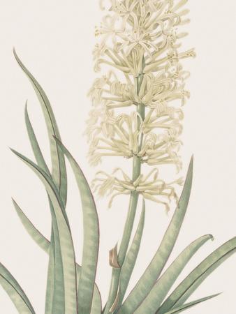 Sansevieria Zeylancia - Focus