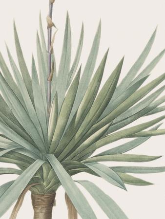 Yucca Gloriosa - Focus