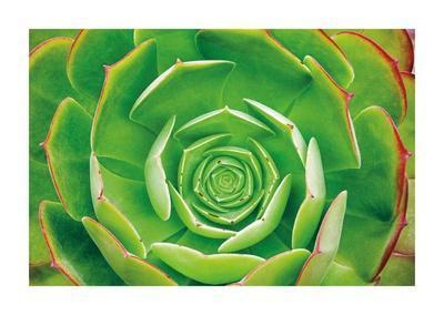Red Trim Succulent II