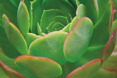 Red Trim Succulent I