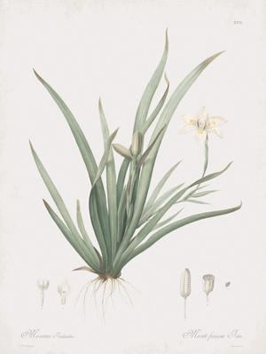 Moraea Iridioides