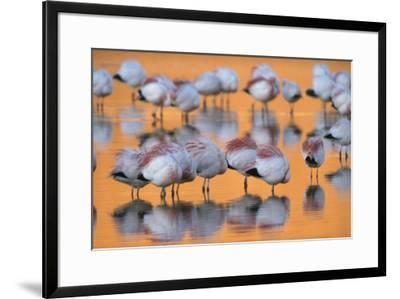 A flock of migratory flamingos roost in a high-altitude lake.