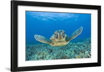Green Turtle (Chelonia Mydas)  Maui  Hawaii  USA