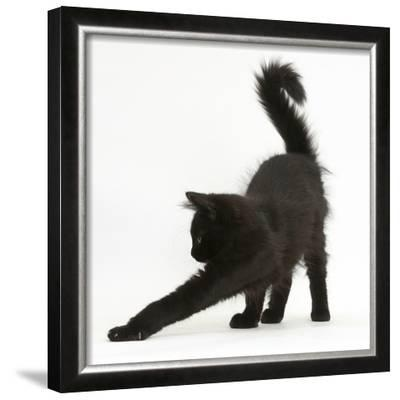 Fluffy Black Kitten, 12 Weeks Old, Stretching
