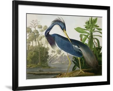Louisiana Heron from Birds of America
