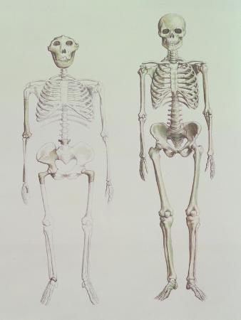 Skeletons of Australopithecus Boisei and Homo Sapiens